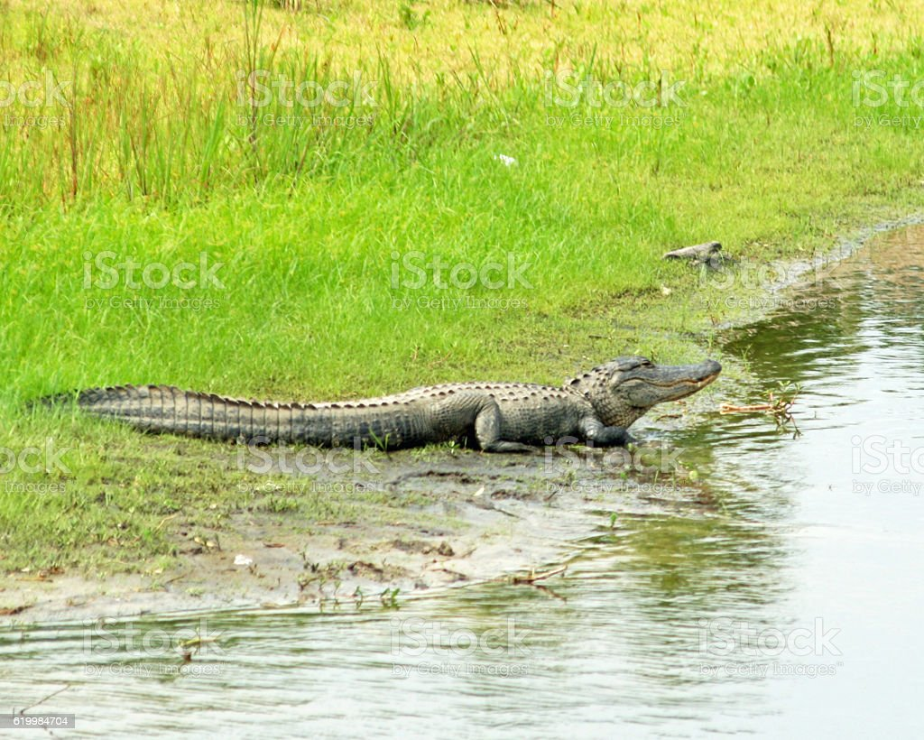 Myakka Gator in the Mud stock photo