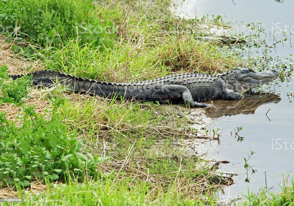 Myakka Gator stock photo