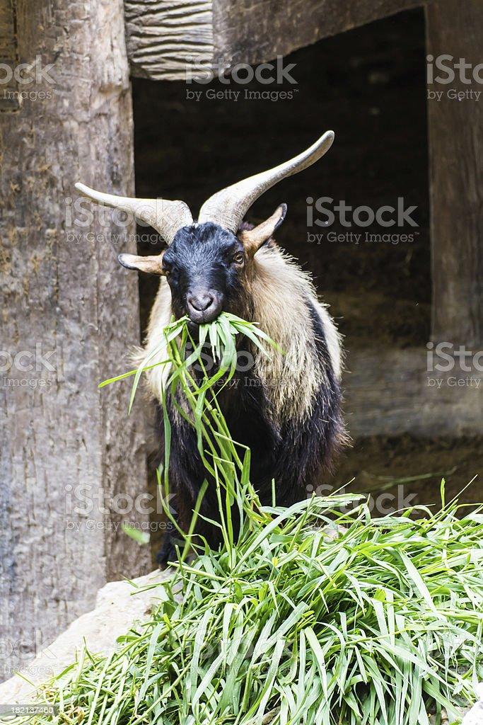Myanmar goat eating grass royalty-free stock photo