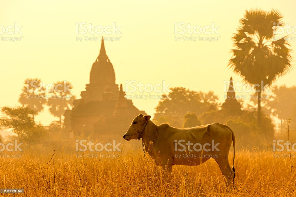 myanmar ox and temple stock photo