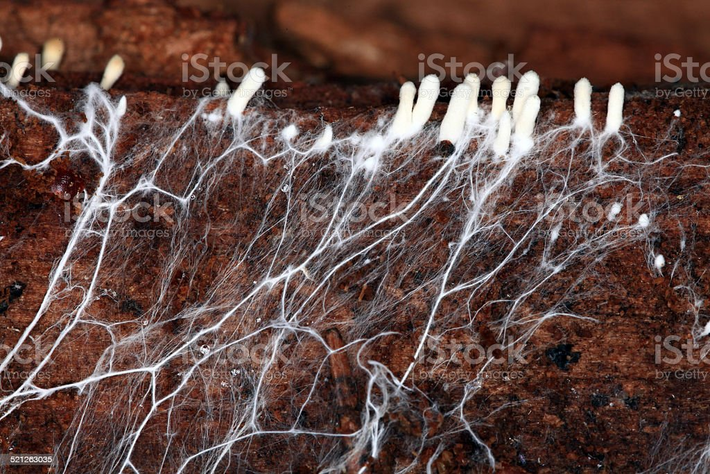 mycelium stock photo