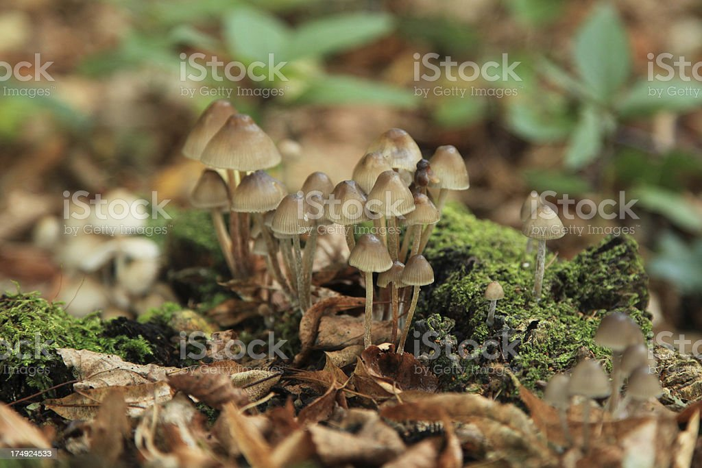 Mycena filopes stock photo
