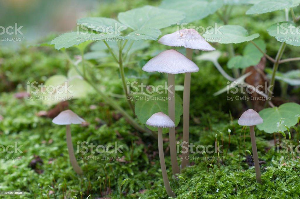 Mycena galericulata mushrooms stock photo