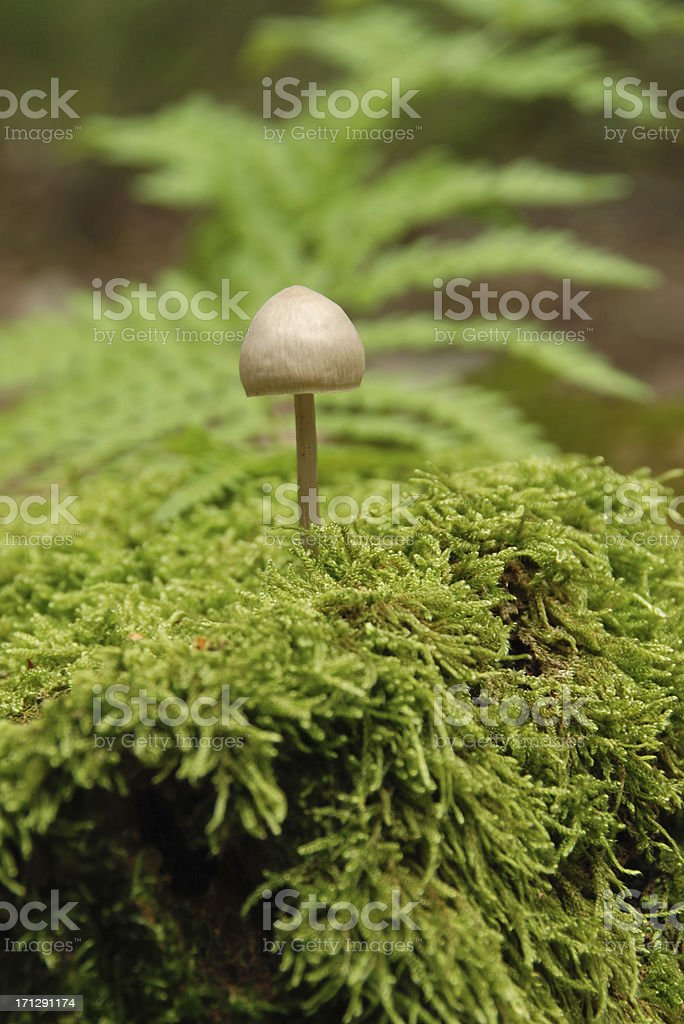 Mycena galericulata stock photo