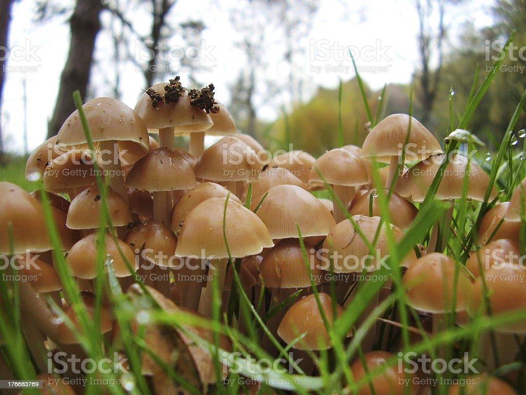 Mycena inclinata mushrooms stock photo