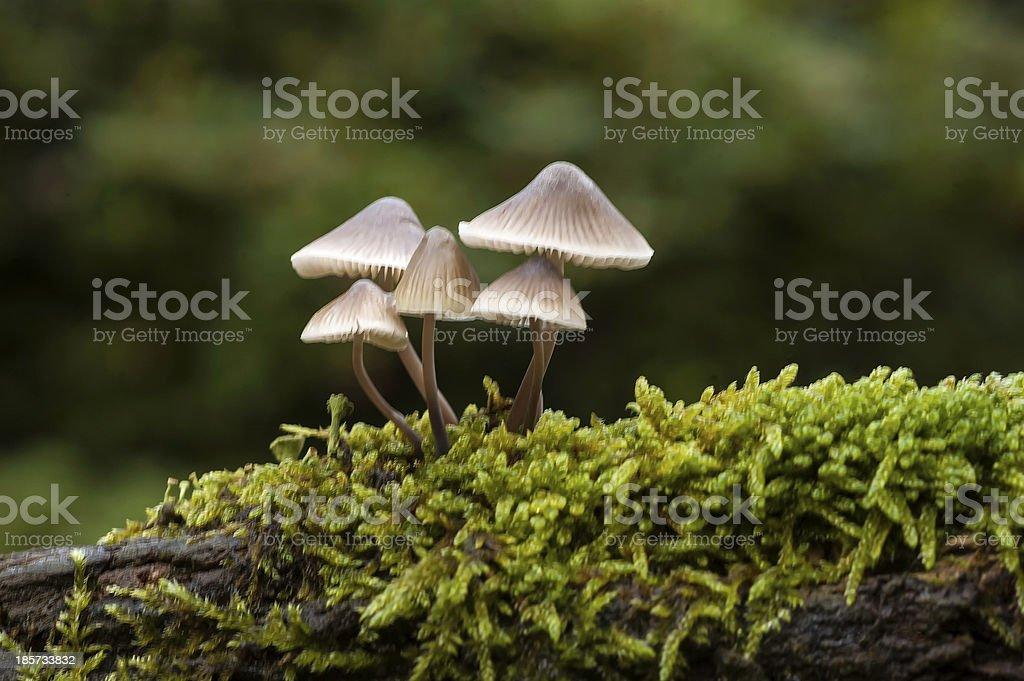 Mycena inclinata stock photo