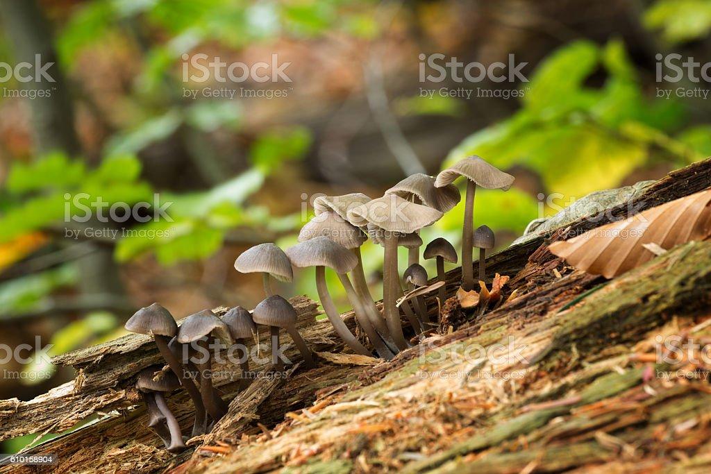 Mycena, Inedible mushrooms stock photo