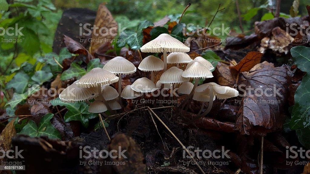 Mycena mushroom stock photo