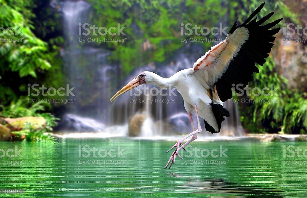 Mycteria bird flying at waterfall stock photo