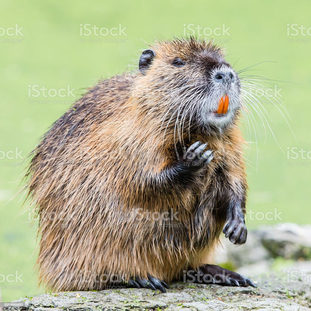 Myocastor coypus, single mammal stock photo