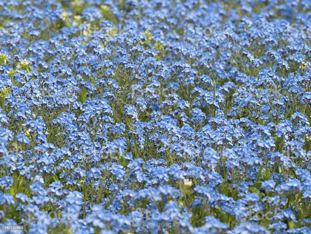 Myosotidium Hortensia, Chatham Islands forget-me-not Flower stock photo
