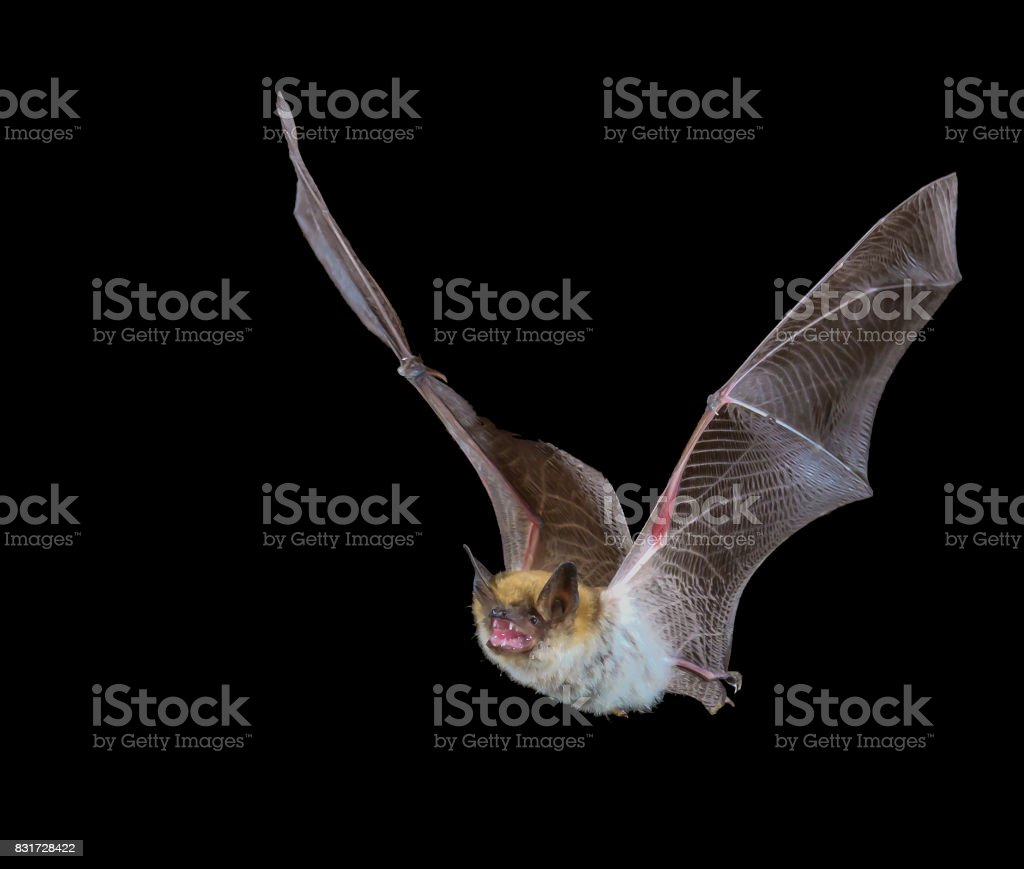 Myotis bat in flight at night with black background stock photo