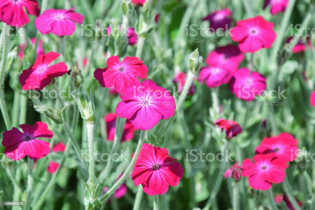 Myriad of Rose campion flowers stock photo