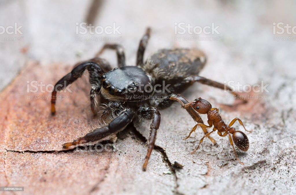 Myrmica ant attacking Fencepost jumper, Marpissa muscosa on bark stock photo