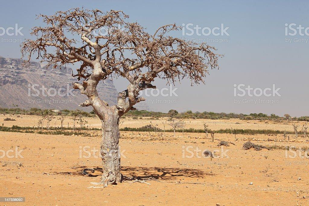 myrrh tree stock photo