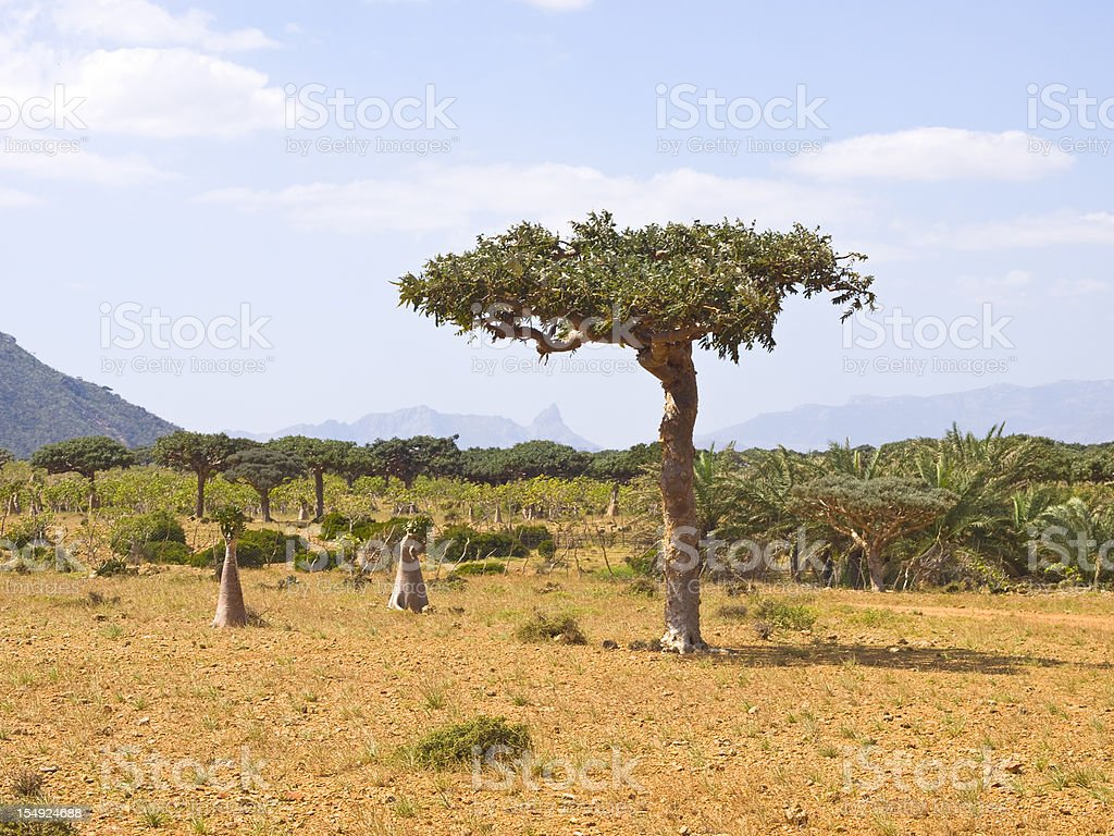 Myrrh tree royalty-free stock photo