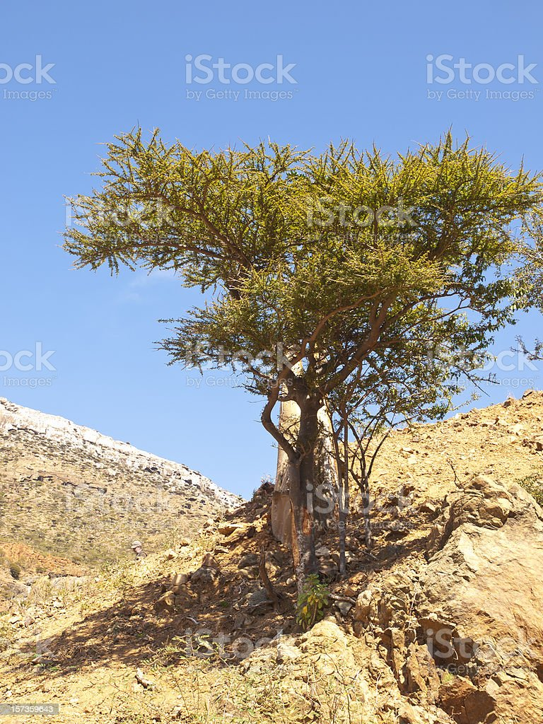 Myrrh tree stock photo