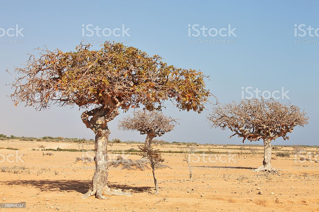 myrrh trees stock photo