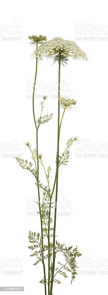 Myrrhis odorata stock photo