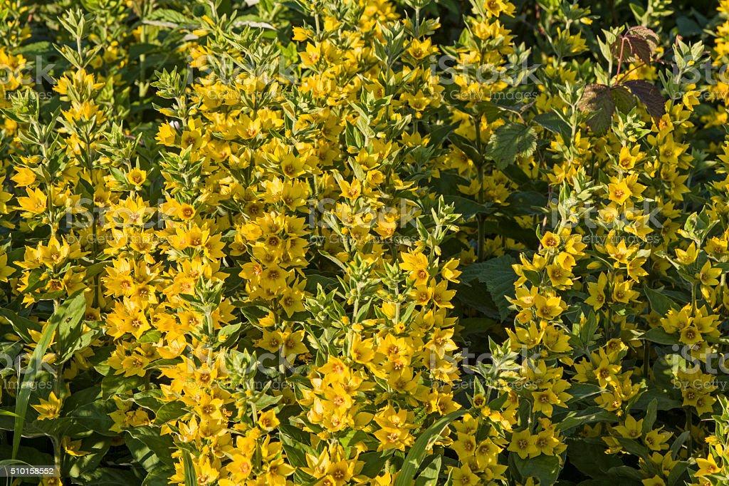 Myrsinoideae stock photo