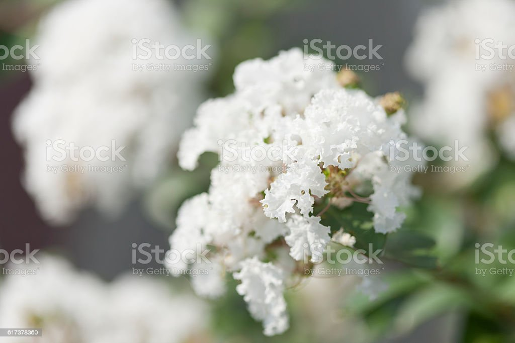 Myrtle flowers stock photo