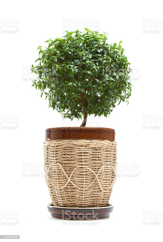 Myrtle tree royalty-free stock photo