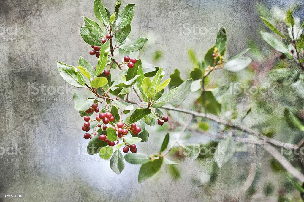 Myrtus. royalty-free stock photo