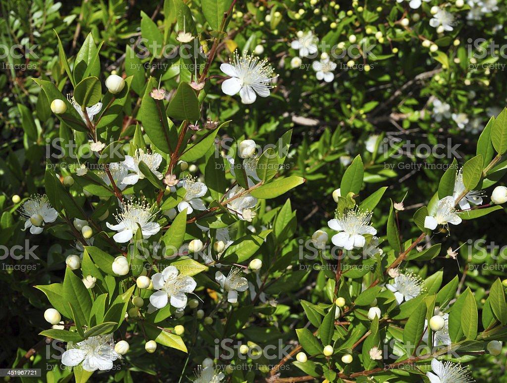 Myrtus stock photo