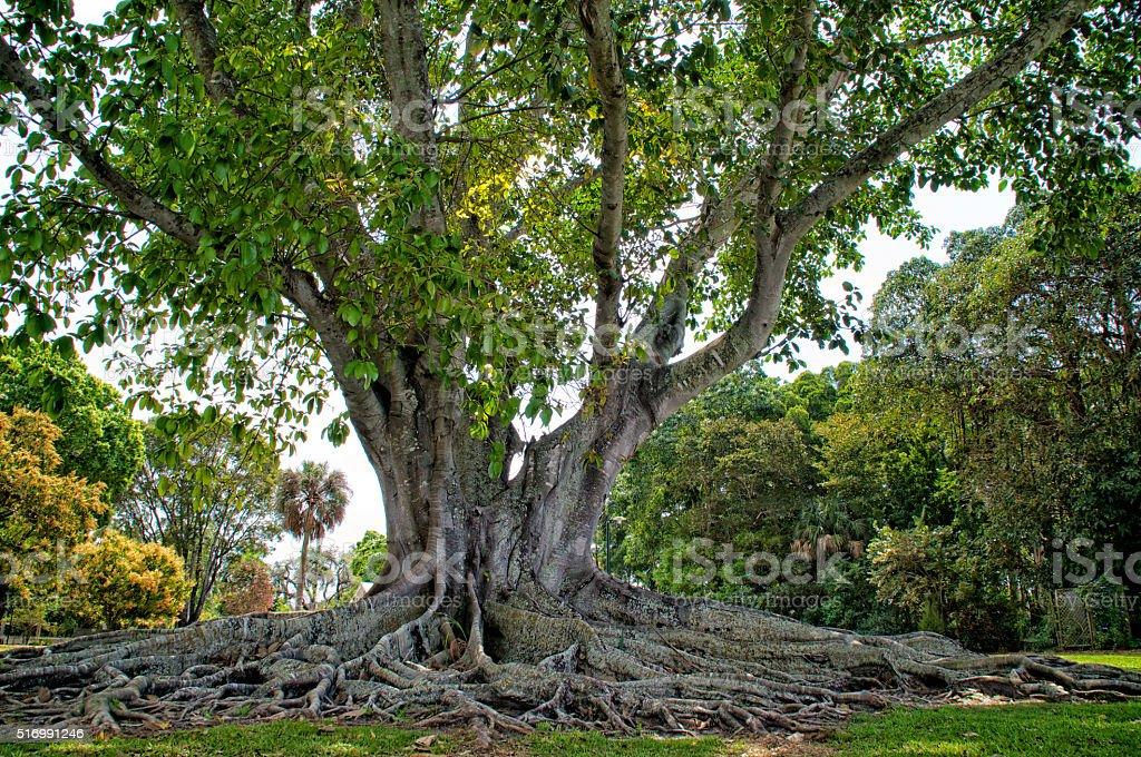 Mysore Fig Tree stock photo