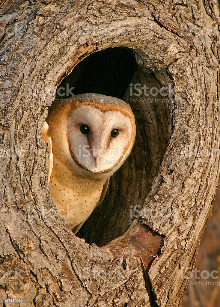 Mysterious Barn Owl in Tree stock photo
