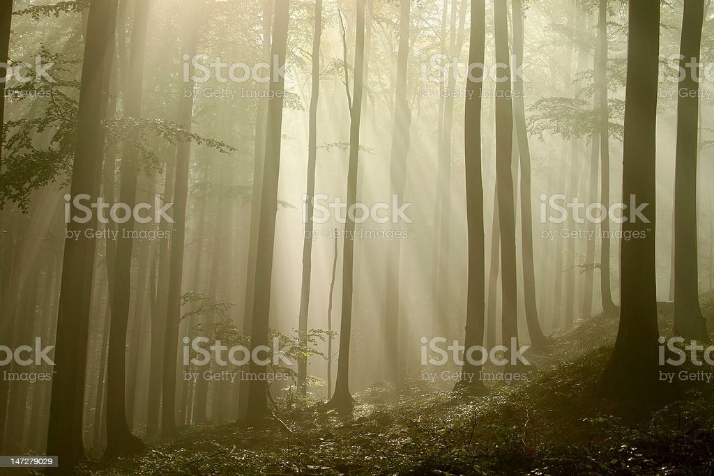 Mysterious beech forest royalty-free stock photo