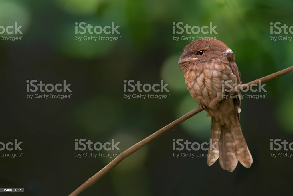 Mysterious bird in tropical moist lowland forest. Conservation status,Gould's Frogmouth ( Batrachostomus stellatus ) perching sleepy in daytime ,southern thailand stock photo