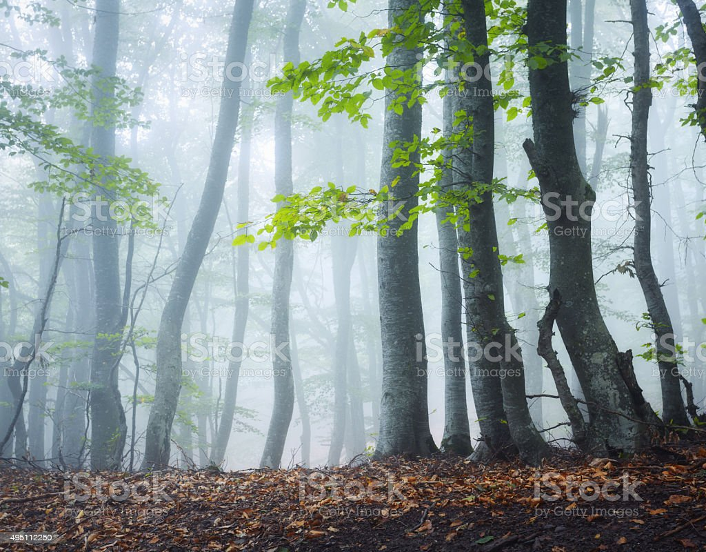 Mysterious dark old forest in fog. Autumn morning in Crimea stock photo