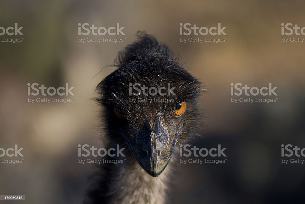 Mysterious Emu royalty-free stock photo