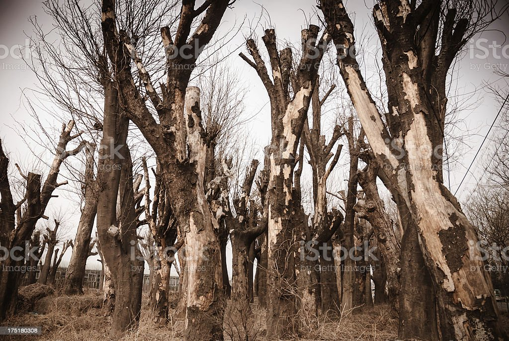 Mysterious forest of dead tree royalty-free stock photo