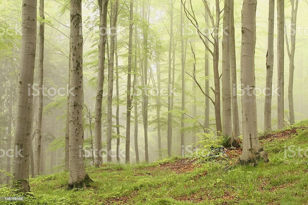 Mysterious forest royalty-free stock photo