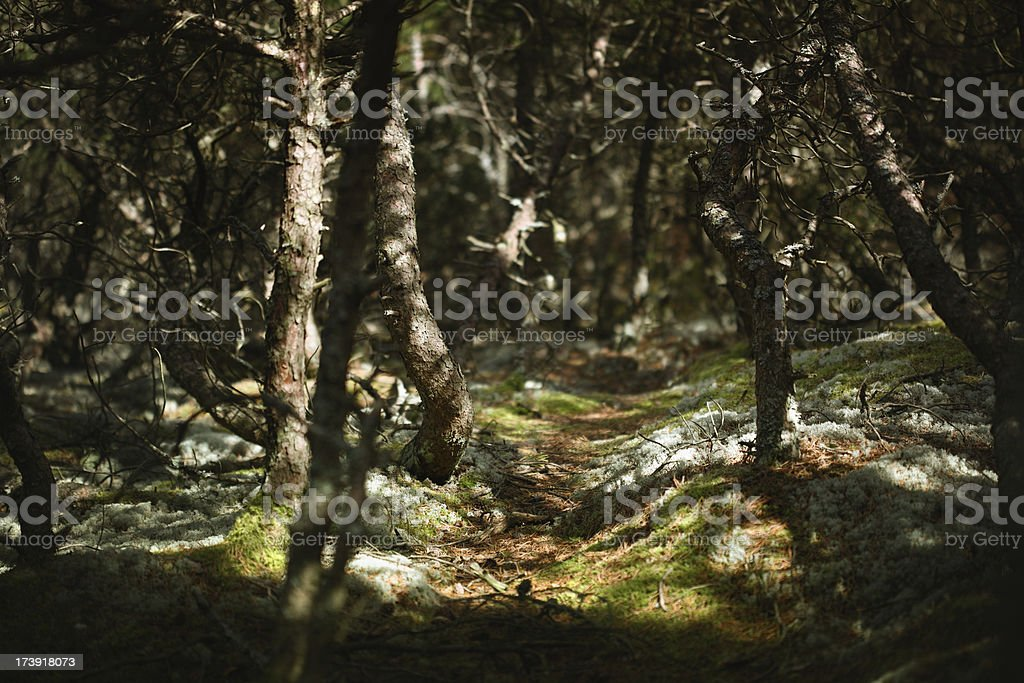 Mysterious forest. royalty-free stock photo