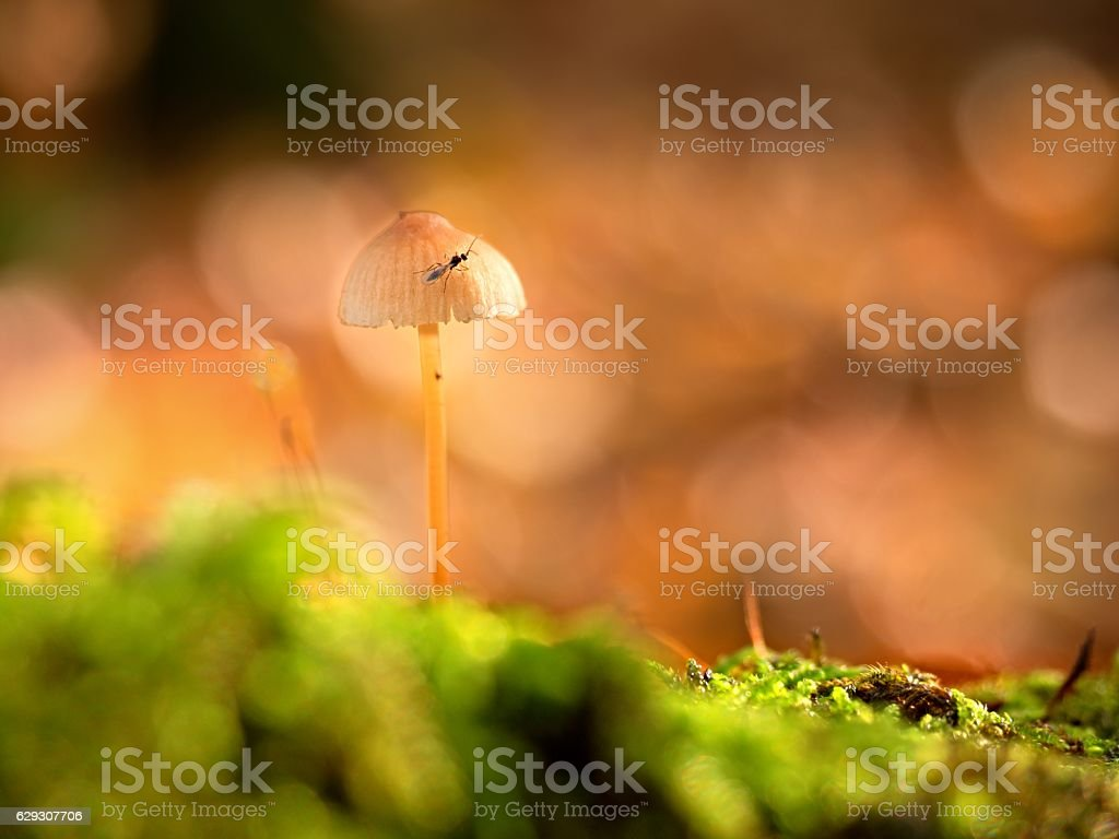 Mysterious wild muschroom in lighting forest. Slim stalk, fallen leaves stock photo