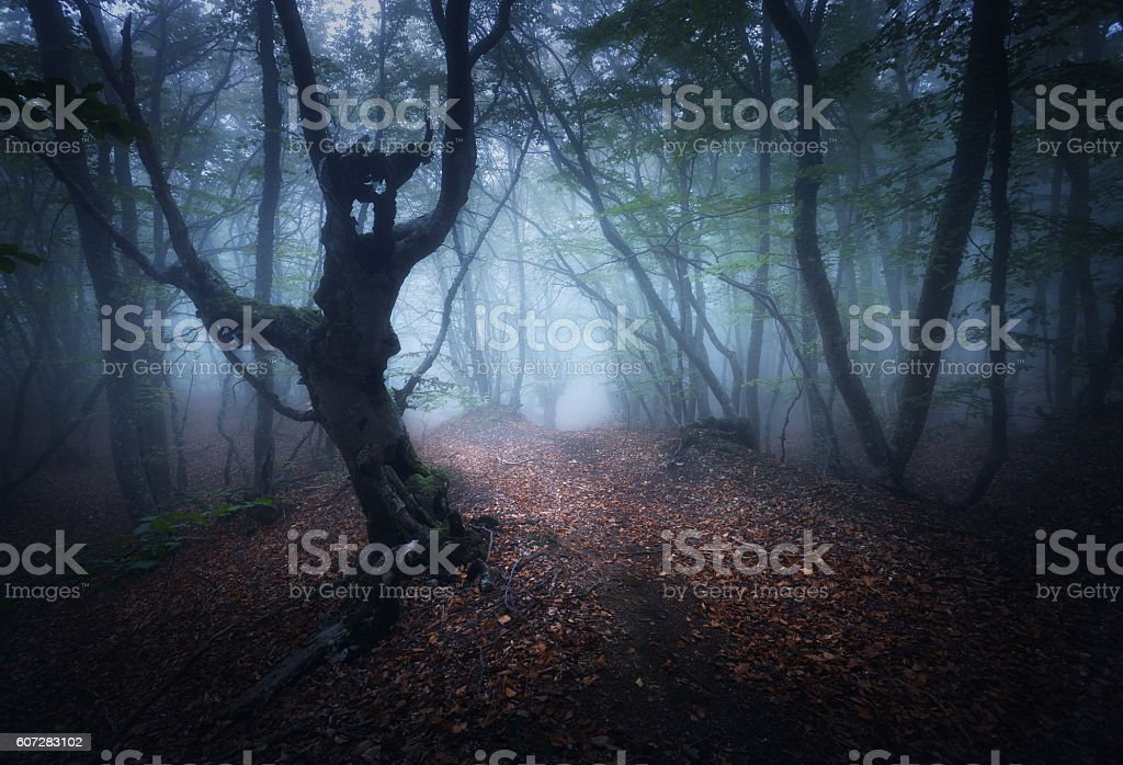 Mystical autumn foggy forest in the morning. Old Trees stock photo