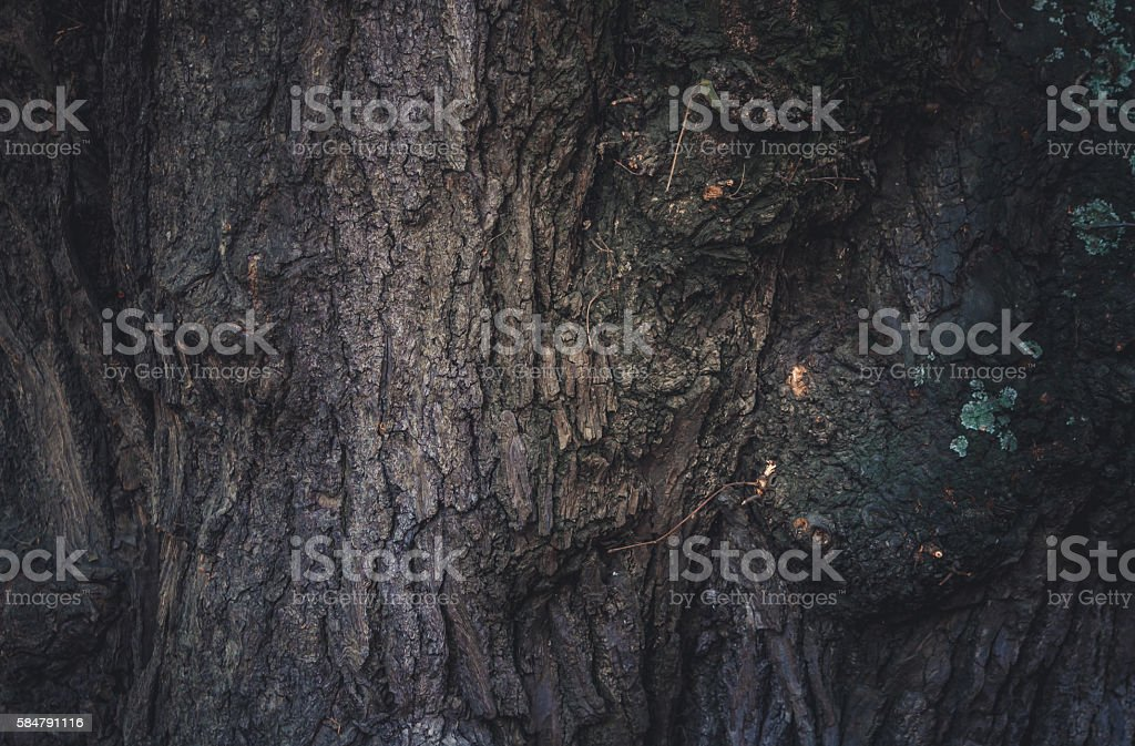 Mystical forest. The trunk of the old oak stock photo
