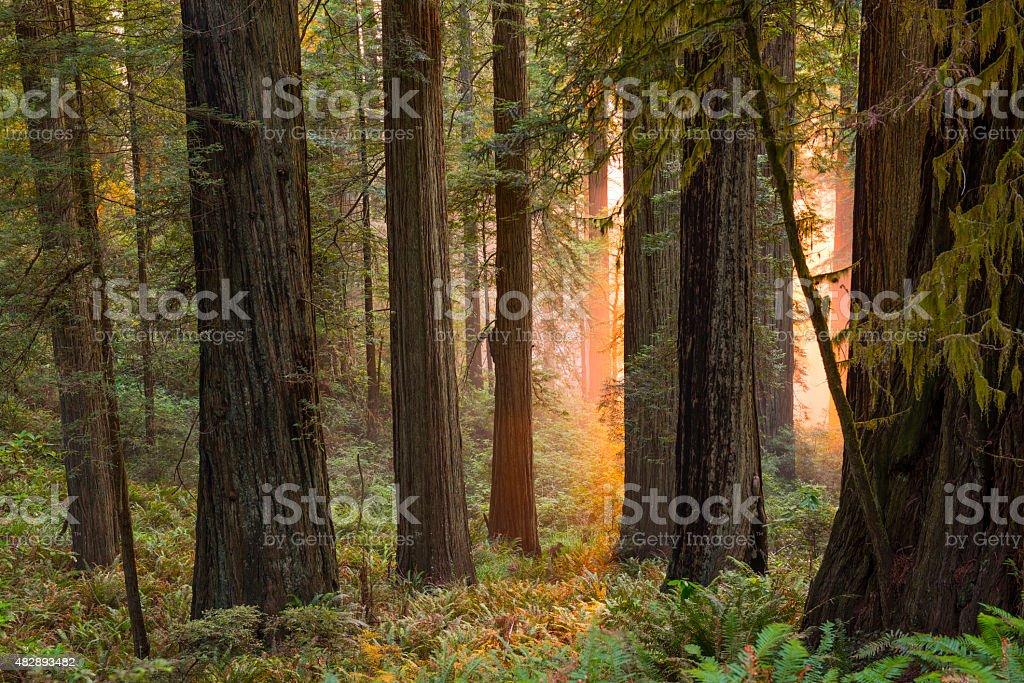 Mystical glow in redwood grove stock photo