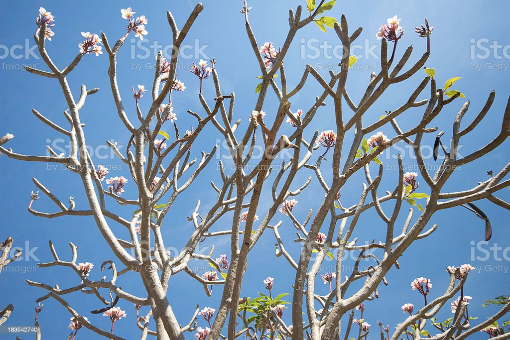 mystically beautiful vietnamese tree with flowers but no leaves stock photo