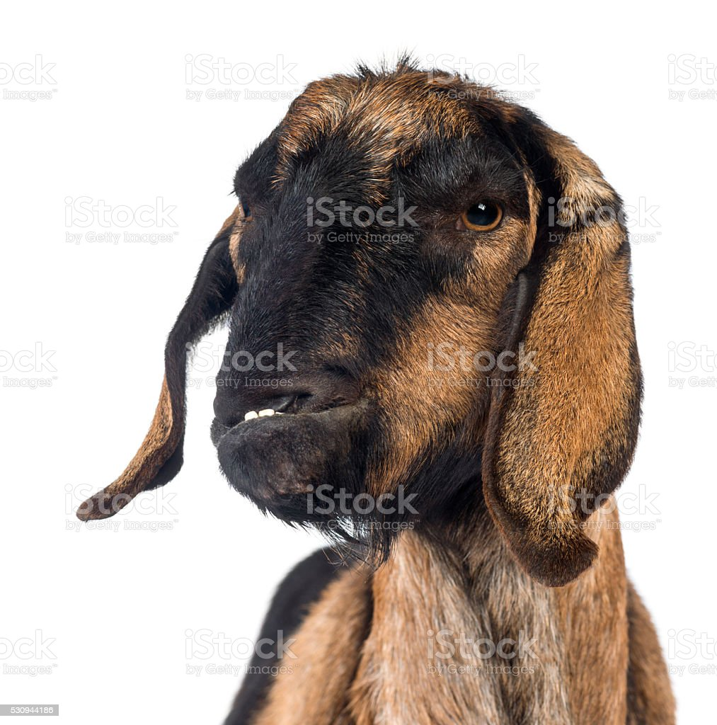 n Anglo-Nubian goat with a distorted jaw, looking away stock photo