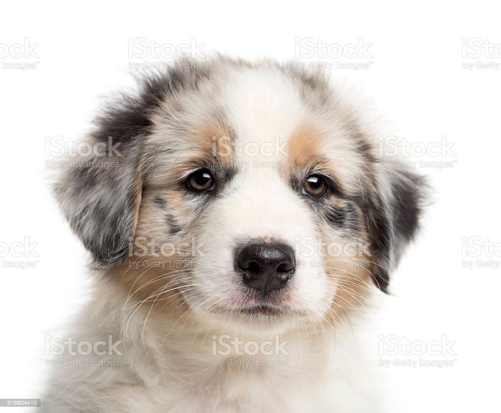 n Australian Shepherd puppy, 8 weeks old, looking away stock photo