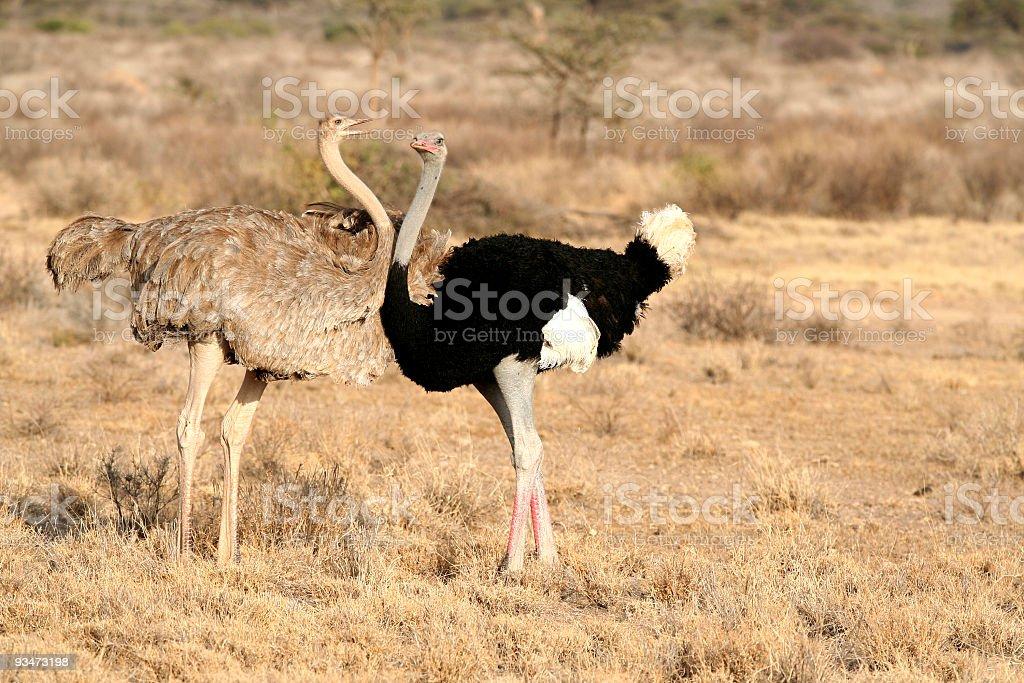 Nagging female Ostrich stock photo