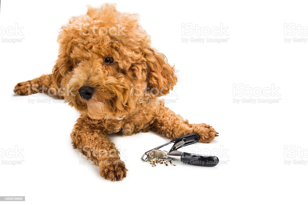 Nails clipped during gromming with clipper and dog as background stock photo