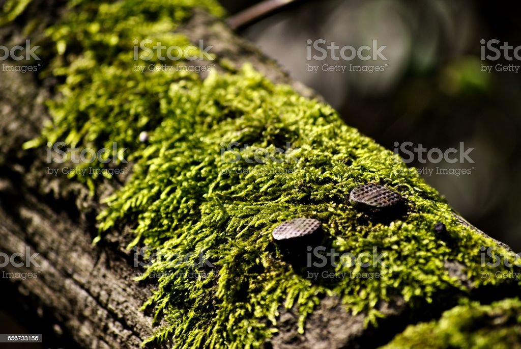 nails on wood with moss stock photo