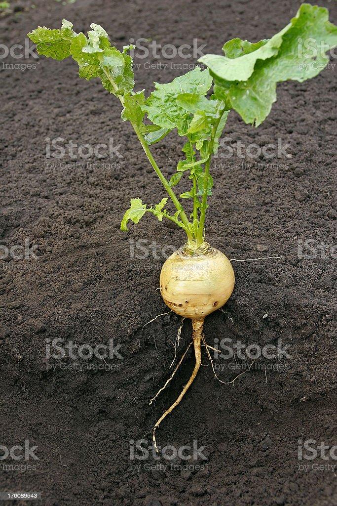 Naked Turnip royalty-free stock photo