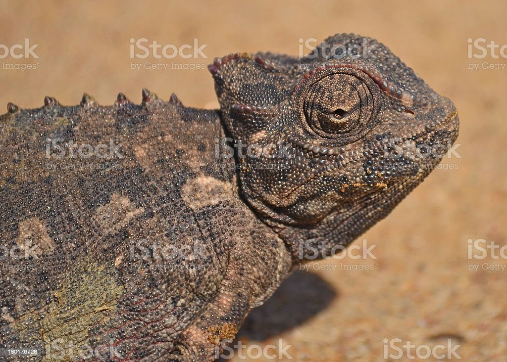 Nam aqua Chameleon royalty-free stock photo
