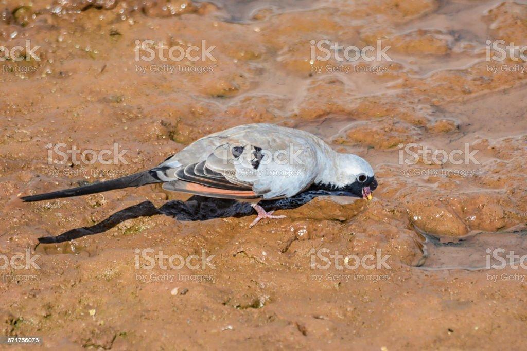 Namaqua Dove stock photo